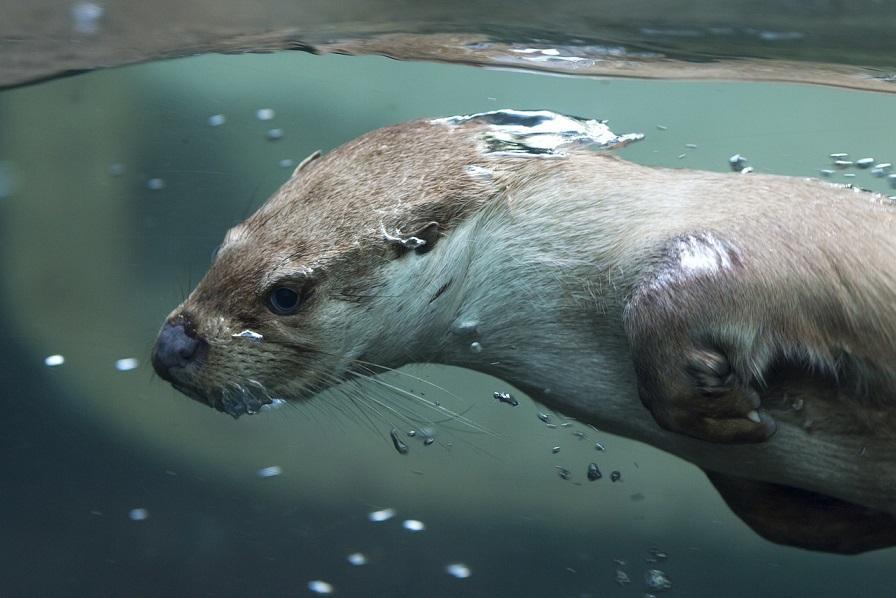 выдра под водой