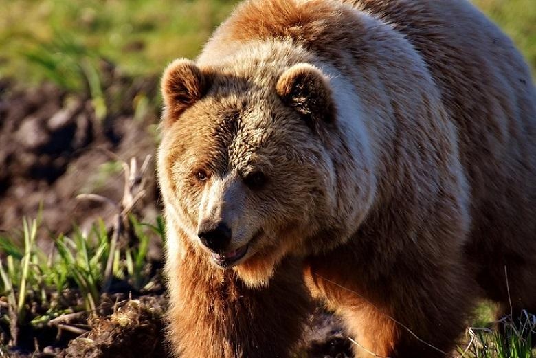 европейский бурый медведь