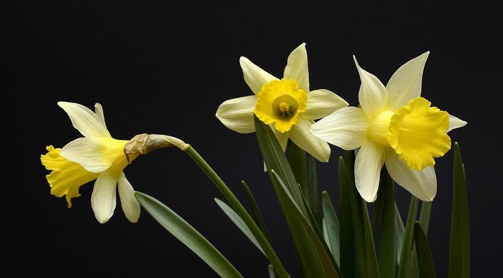 цветы нарцисса