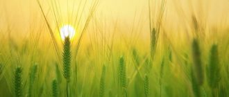 солнце над ячменным полем